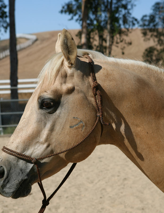 AQHA-Special_Love_Affair_Wiescamp_Brand